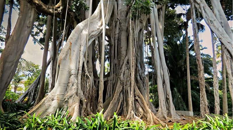 La Orotava, cosa vedere: il grande Ficus Macrofilla